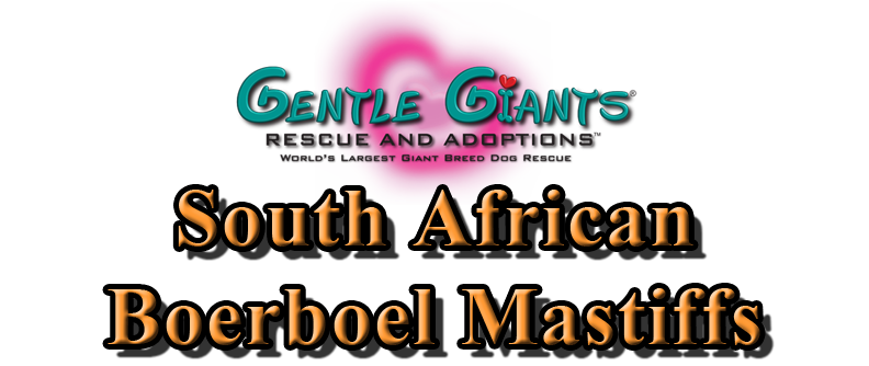 South African Boerboel Mastiffs At Gentle Giants Rescue And Adoptions